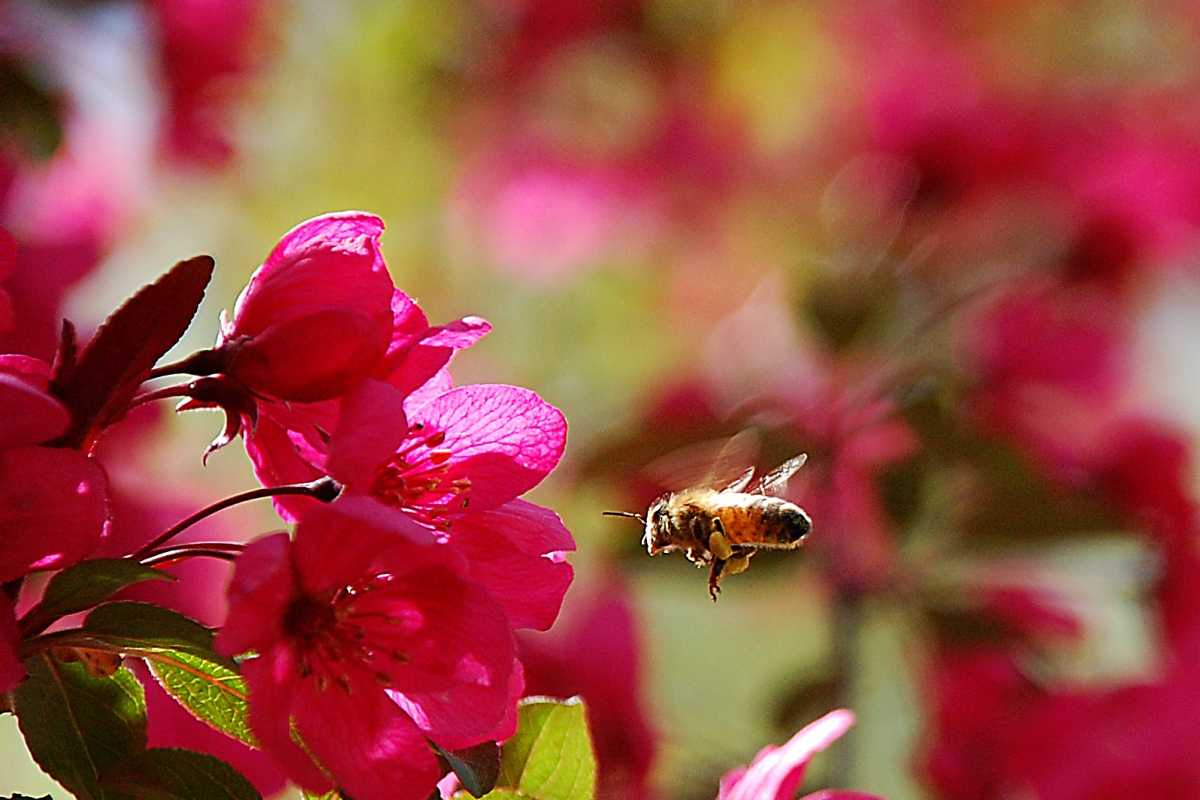 Our Buzzing Crabapple Tree
