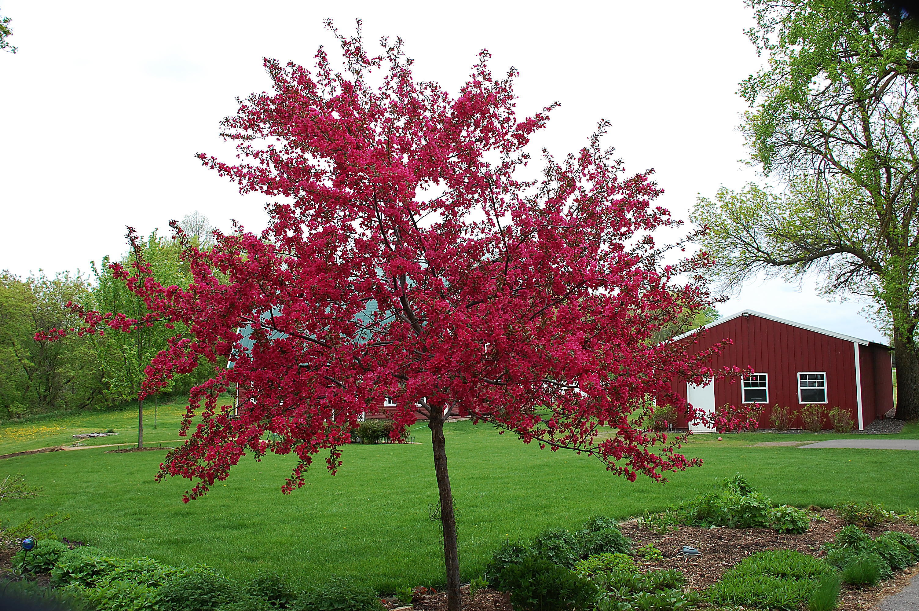 our buzzing crabapple tree just two farm kids