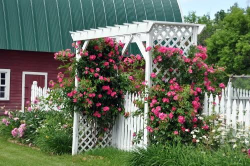 Роза канадская плетистая вильям баффин 1